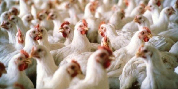جورنالات بلادي1: سعر الدجاج يقفز إلى 20 درهما للكيلوغرام ومجلس الحسابات يفتحص قطاع النظافة بمراكش الذي يكلف 34 مليارا سنويا