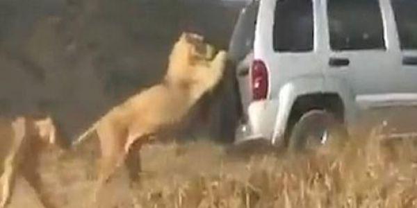 هذا سبع مغربي. بالفيديو. أسد كيتشبط فالسيارة داخل محمية