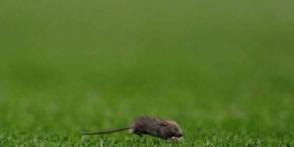 نيوزيلاندا. اضخم حملة قضاء على الفئران فالتاريخ باستعمال القوات العمومية و700 مليون دولار
