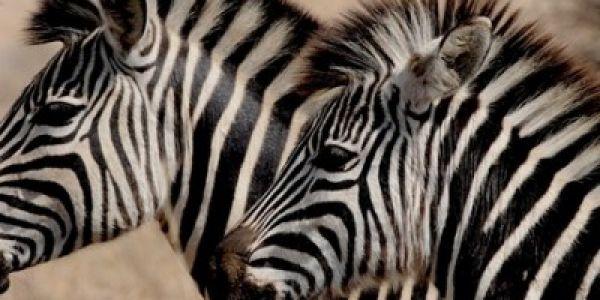 وهادو مشاو بعيد. حديقة حيوانات فمصر زورات حمار وحشي