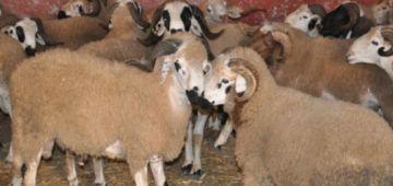 حزب الدفاع على الحيوانات فمليلية كيطالب الحكومة تمنع المغاربة من العيد الكبير