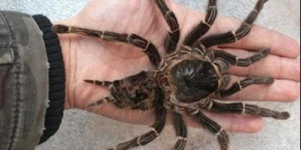 العنكبوت حسن من الشيخ الراقي بوصنطيحة. علماء كتاشفو ان سم العناكب كيعالج الصرع