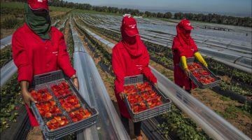جني الفريز فاسبانيا : غادي يزيدو 2800 عاملة إضافية والمرحلة الثالثة بدات البارح