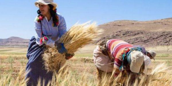 الإنتاج ديال الحبوب وصل لـ 52 مليون قنطار ف موسم 2018 – 2019 والقيمة المضافة الفلاحية شبه مستقرة واخاإنتاج الحبوب انخافض