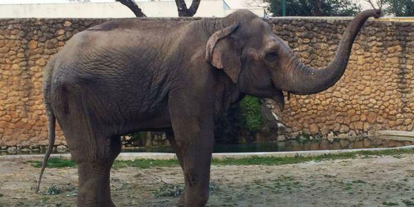 ماشي غير بنادم لي كيجيه الاكتئاب.. وفاة الفيلة الأكثر حزنا في العالم