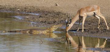 غزال نجا من تمساح بأعجوبة -فيديو