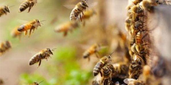 سرب ديال النحل عطل طيارة وماخلاهاش طير