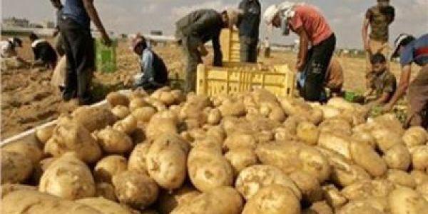 الـONSSA تضرب بقوة.. حجز 136 طن من بطاطا فبركان وإحالة المتورطين بترويجها على القضاء