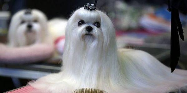 الحوايج مصاوبين من شعر الكلاب هوما لاموض هاد العام – فيديو