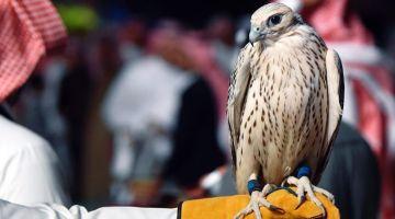 شدو صقور جارحة عند قطريين نواحي طانطان