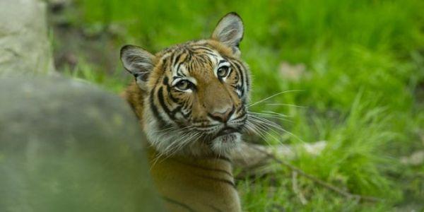 كورونا…إصابة نمر بكورونا انتقل ليه من الإنسان وعادا باقي النمور فحديقة الحيوان بالبرونكس نيويورك