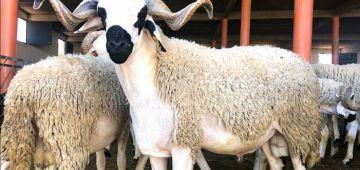 الثروة الحيوانية غادي تزاد بـ3 فالمية و القطيع فايت 31 مليون راس و خا الشتا ماجاتش مزيان هادي عامين