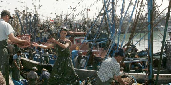 96 مركب صيد من أصل 100 لي خرجات تصيد الأخطبوط من ميناء العيون