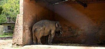 """""""الفيل الحزين"""" داوه لدولة جديدة و داو معاه 200 كيلو ديال الماكلة"""