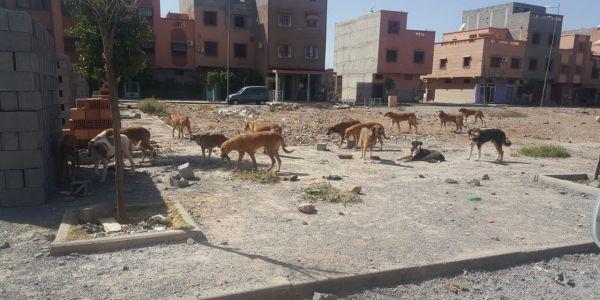 انتشار الكلاب الضالة فالمدن المغربية ووزارة الداخلية مابغاتش تنظم حملات القتل بسبب الجمعيات الحقوقية