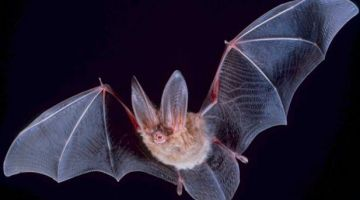 عالمة صينية: ردو بالكم فيروسات خرى من عائلة كورونا كاينة عند الخفافيش تقدر تنتقل للانسان