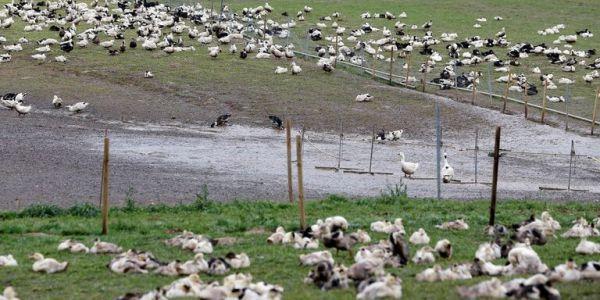 فيروس إنفلونزا الطيور كينتاشر بزّاف و بسرعة كبيرة ف فرنسا مؤخرا.. و إعدام 400 ألف بطة