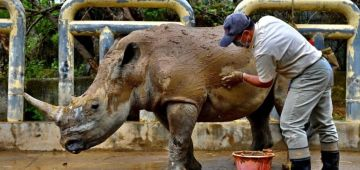 انثى وحيد القرن كتقلب على زمانها فاليابان