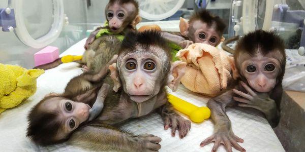جدل كبير ف الوسط العلمي بعدما تدارت تجربة ناجحة لزرع خلايا بشرية ف أجنة القرود