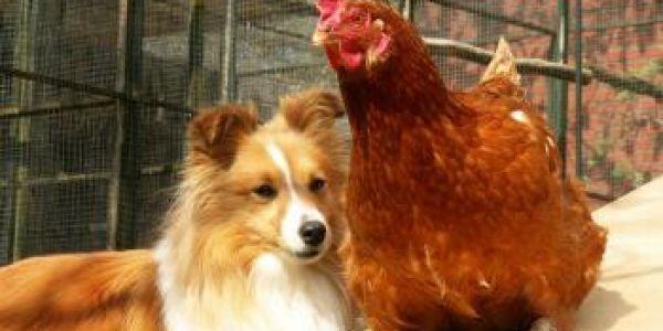 فيديو ديال دجاجة كتجري ورا كلب دار البوز وحقق ملايين المشاهدات