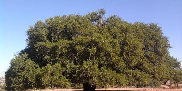 هلال: الأمم المتحدة كدعم جهود الملك فالحفاظ على الموروث الوطني من خلال اليوم العالمي لشجرة اركَان