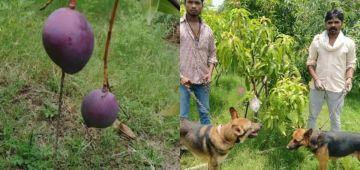 مول أغلى شجرة ديال المونكَ دار عليها عساسة و 4 ديال الكلاب باش يحضيوها – فيديو