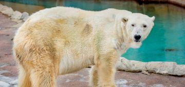 إعدام أكبر دب قطبي فـ أمريكا الشمالية وها علاش – تدوينة وفيديوهات