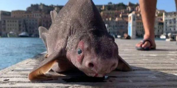 حيوان نادر.. قرش عندو وجه خنزير لقاوه الصيادة فـ البحر الأبيض المتوسط – تصاور