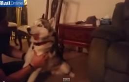 تا لكلاب تايتبوقو. كلب ينتشي مدة يوم كامل بسبب أكله كعكة ماريجوانا بالخطأ (فيديو)