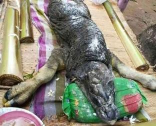 بالفيديو. ولادة عجل على هيئة تمساح تثير الصدمة والاستغراب