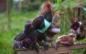 دارو الخير صدقو فمشروع تجاري. بالفيديو. بريطانيتان دارو لباس ديال الدجاج لحمايتهم من البرد وهوما يجيوهوم طلبات لبيع ملابس الدجاج
