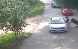 بالفيديو. سائحة نزلات من سيارتها صدق واكلها نمر