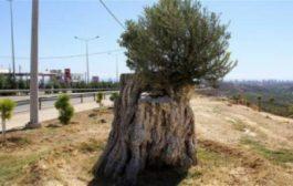 شجرة زيتون عمرها 800 سنة رجعات ليها الحياة وغاتعطي الغلة من جديد!