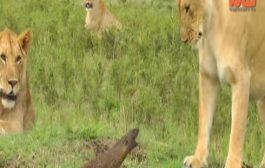 """سمعة ملك الغابة فالحضيض. حيوان صغير جرا على ثلاث لبوءات يبهر العالم """"فيديو"""""""