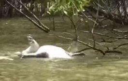 بحال البشر الحيوانات رجعات تاكل خوتها. بالفيديو تمساح يهاجم تمساحا اخر ويلتهمه